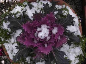 Flowering_kale