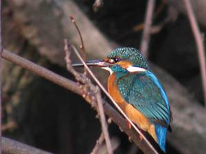 Commonkingfisher