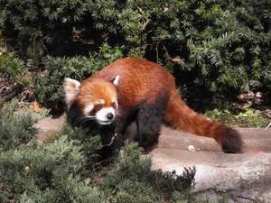 Lesser_panda2