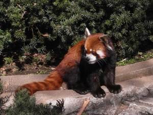 Lesser_panda3