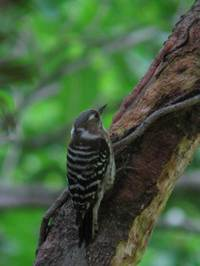 Pygmywoodpecker