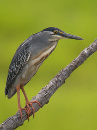 Strated_heron
